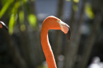 Flamingo Head and Neck