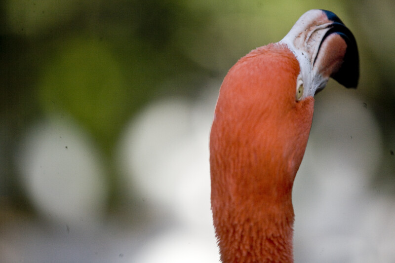 Flamingo Head from Rear