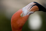 Flamingo Head from Side