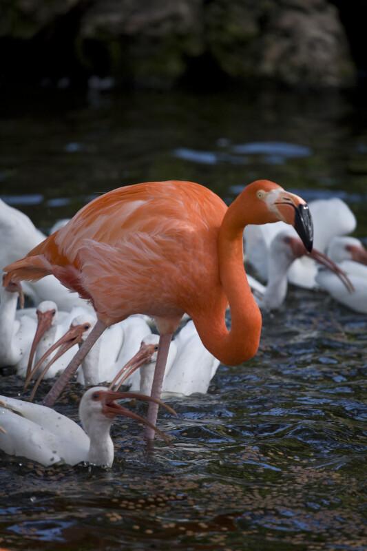 Flamingo in Front of Ibises