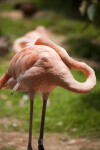 Flamingo Napping
