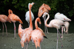 Flamingo Raising its Head