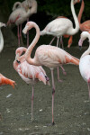 Side View of Flamingos Standing on One Leg