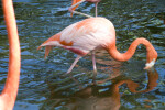 Flamingo Sifting