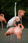 Flamingo with Long Neck