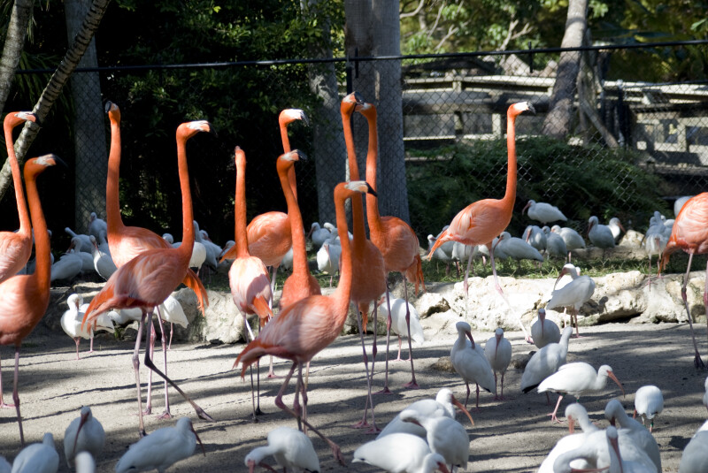 Flamingos and White Ibises