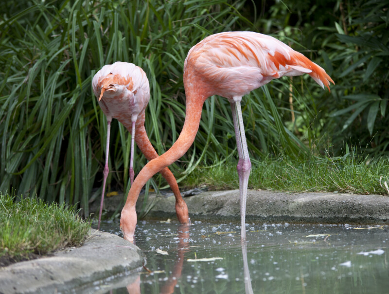 Flamingos Foraging