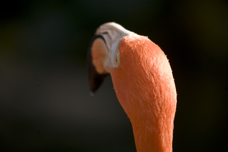 Flamingo's Head from Behind