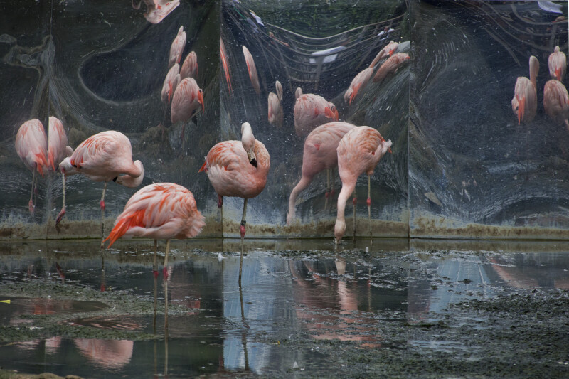 Flamingos Standing in Water at the Artis Royal Zoo