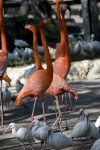 Flamingos Walking Among Ibises