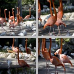 Flamingos photographs