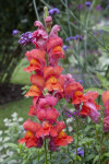 """Flammengold"" Snapdragon"