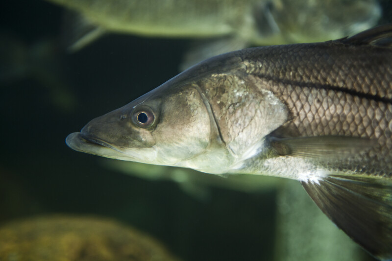Flat-Headed Fish Close-Up