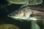 Flat-Headed Fish Close-Up