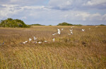 Flock of Birds Taking Flight in a Sawgrass Field