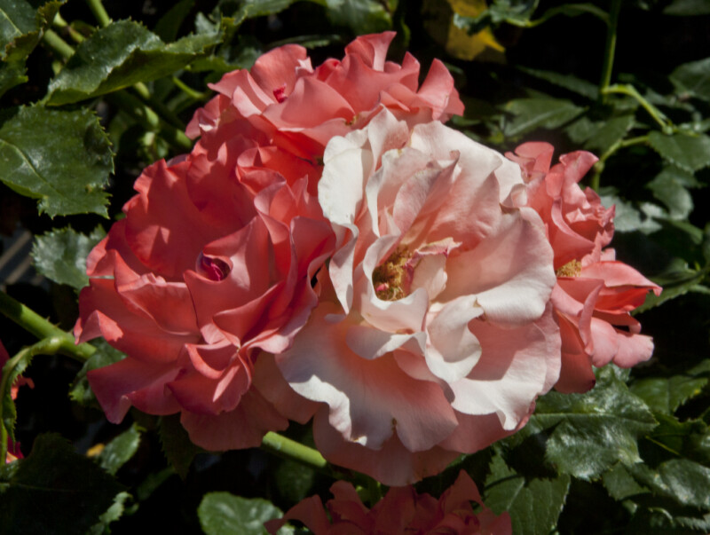 Floribunda 'Marmalade Skies' Rose Flowers at Capitol Park in Sacramento