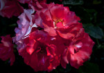 Floribunda 'Marmalade Skies' Rose Flowers with Ruffled Petals