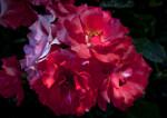 Floribunda 'Marmalade Skies' Rose Flowers with Ruffled Petals