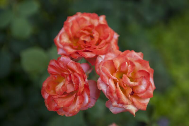 "Floribunda Rose ""Gingersnap"""