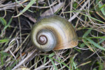 Florida Apple Snail Shell Amongst Grass at Colt Creek State Park