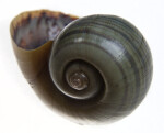 Florida Apple Snail Shell in Upright Direction