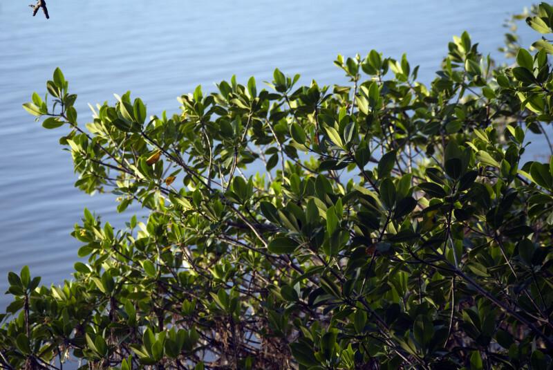 Florida Bay Mangrove