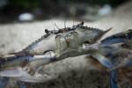 Florida Blue Crab Close-Up