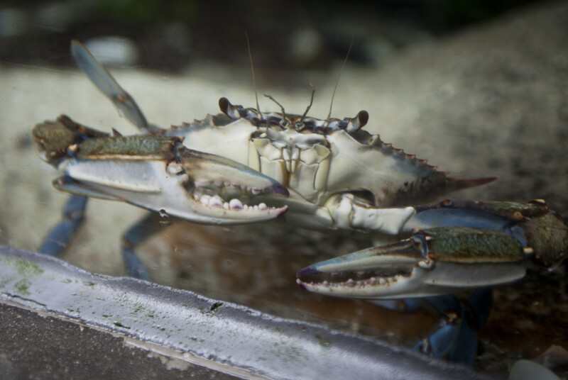 Florida Blue Crab in Glass Tank at The Florida Aquarium
