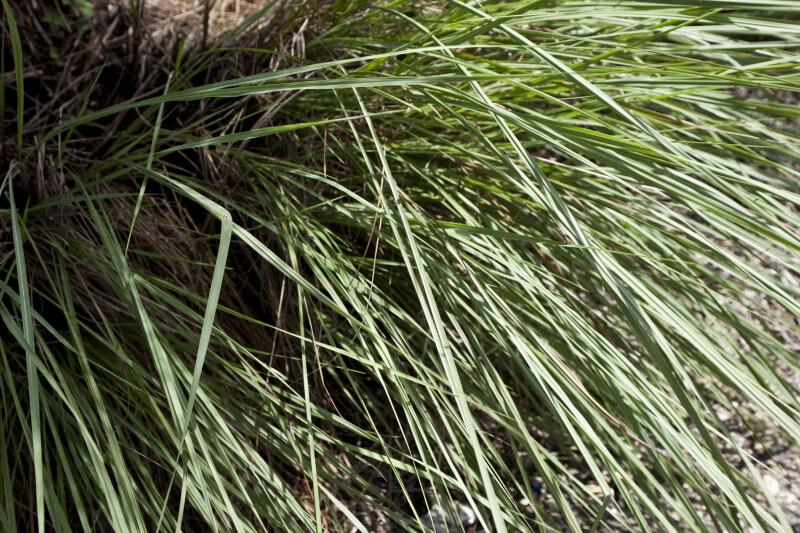Florida Gama Grass