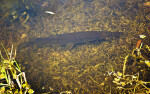 Florida Gar Swimming Along the Bottom of a Lake