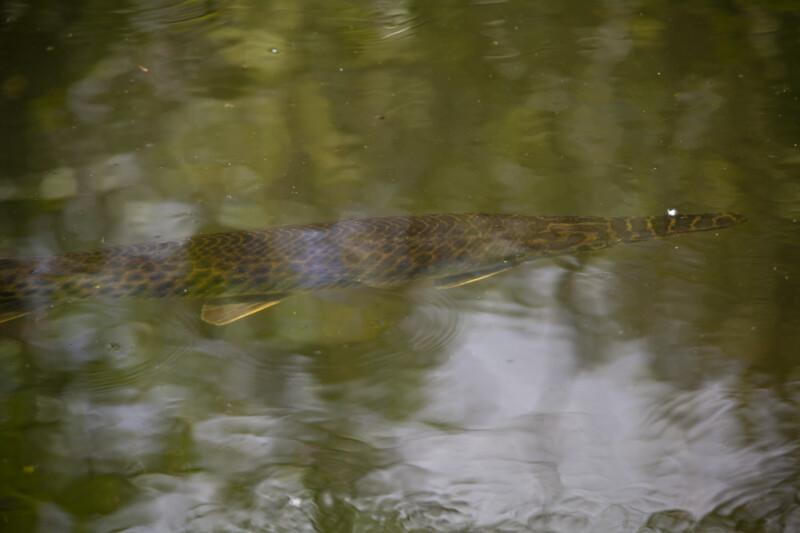 Florida Gar Swimming Beneath the Water's Surface
