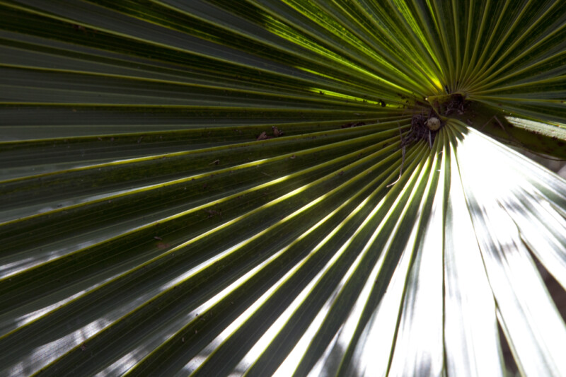 Florida Thatch Palm Frond Close-Up