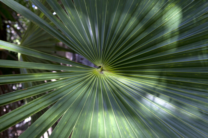 Florida Thatch Palm Frond