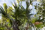 Florida Thatch Palm Tree