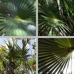 Florida Thatch Palms photographs
