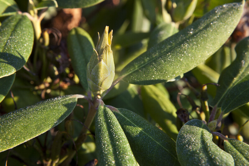 Flower Bud and Lightly Frosted Green Leaves