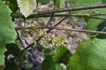 Flower Buds of a Grape Vine