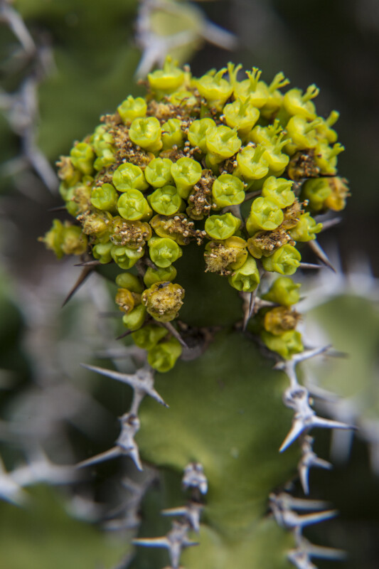 Flower Buds of a Succulent Plant