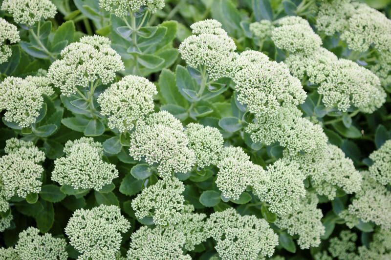 Stonecrop Sedum Flowers