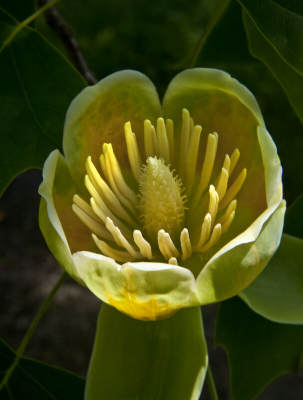 Flower from a Tulip Tree