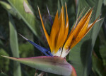 Flower of a Bird of Paradise Plant