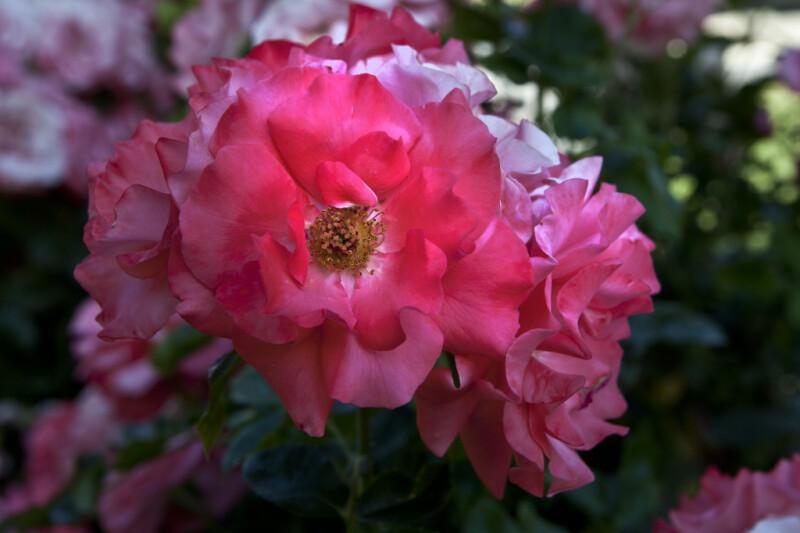 Flower of a Floribunda 'Marmalade Skies' Rose