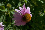 Flower of a Purple Coneflower