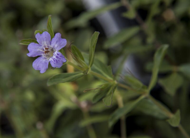 Flower of an Oblongleaf Twinflower Plant