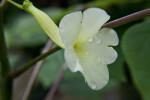 Flower of Uncarina leptocarpa
