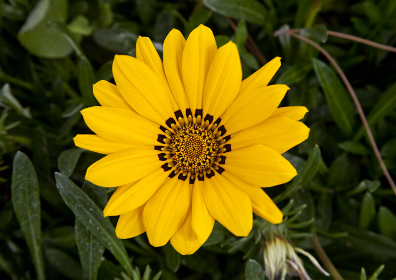 Flower with Yellow Petals and a Distinctive Black Center