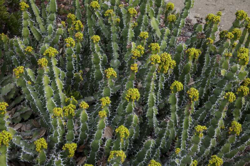Flowering Cacti with Multiple Spines