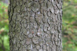 Flowering Dogwood Bark