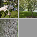Flowering Dogwoods photographs