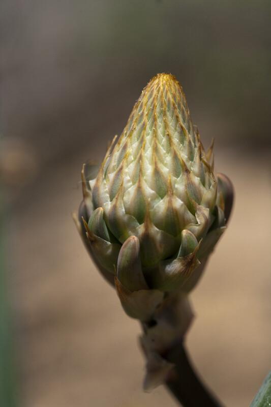 Flowering Part of Aloe